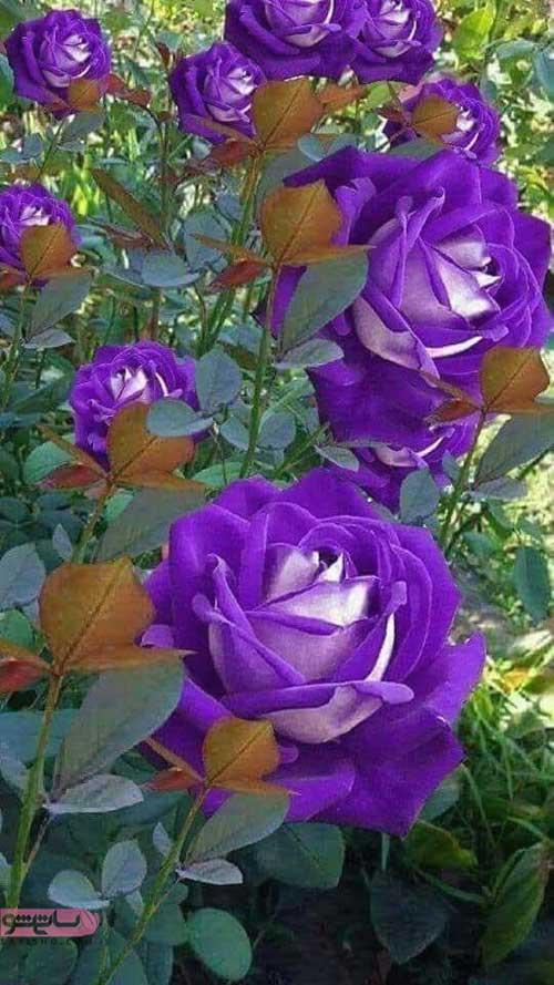 گل رز بنفش برای تزیین خانه